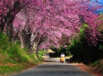 JAN 2020: 5 DAYS 4 NIGHTS CHIANG MAI - SAKURA CHERRY BLOSSOM